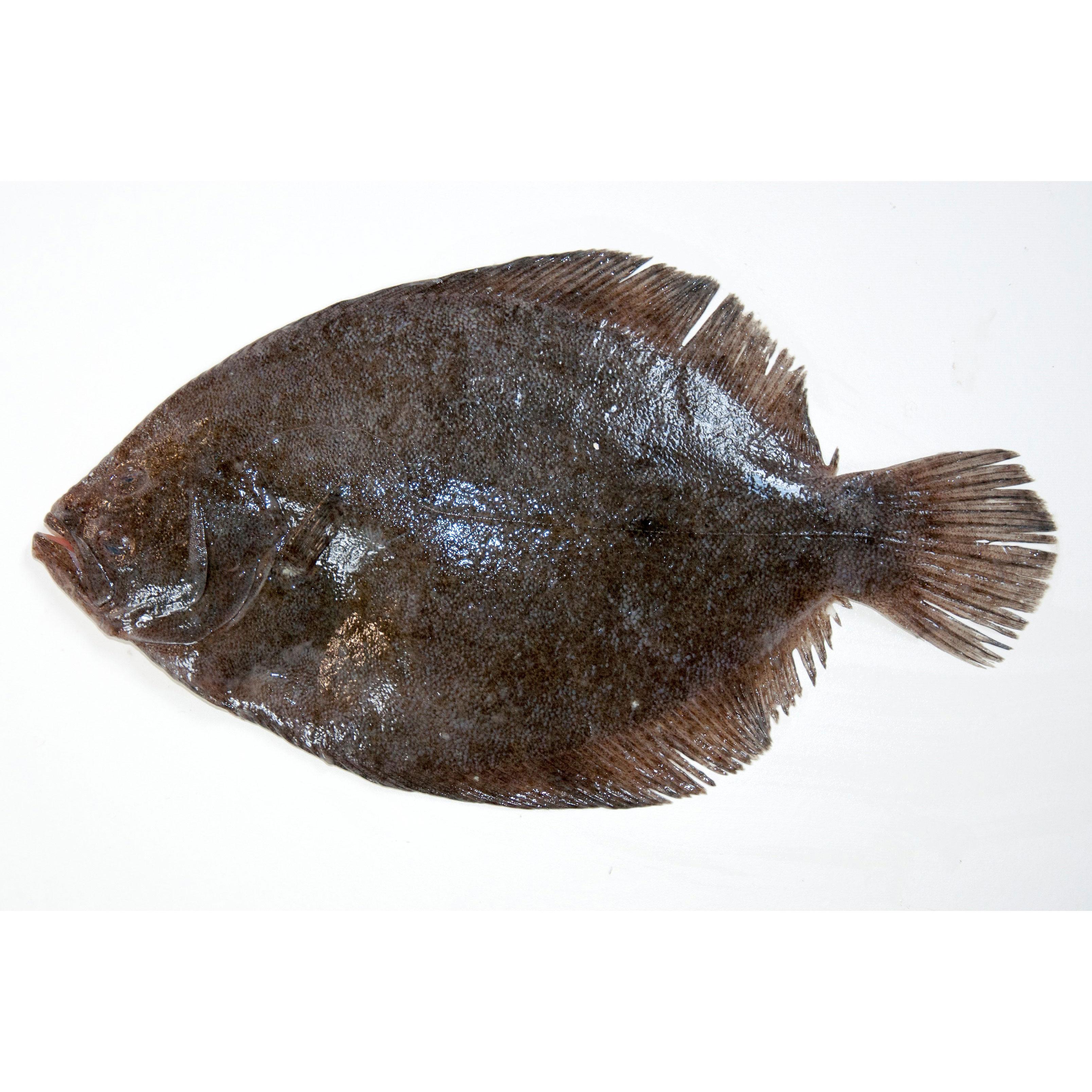 Turbot - Northumberland Seafood