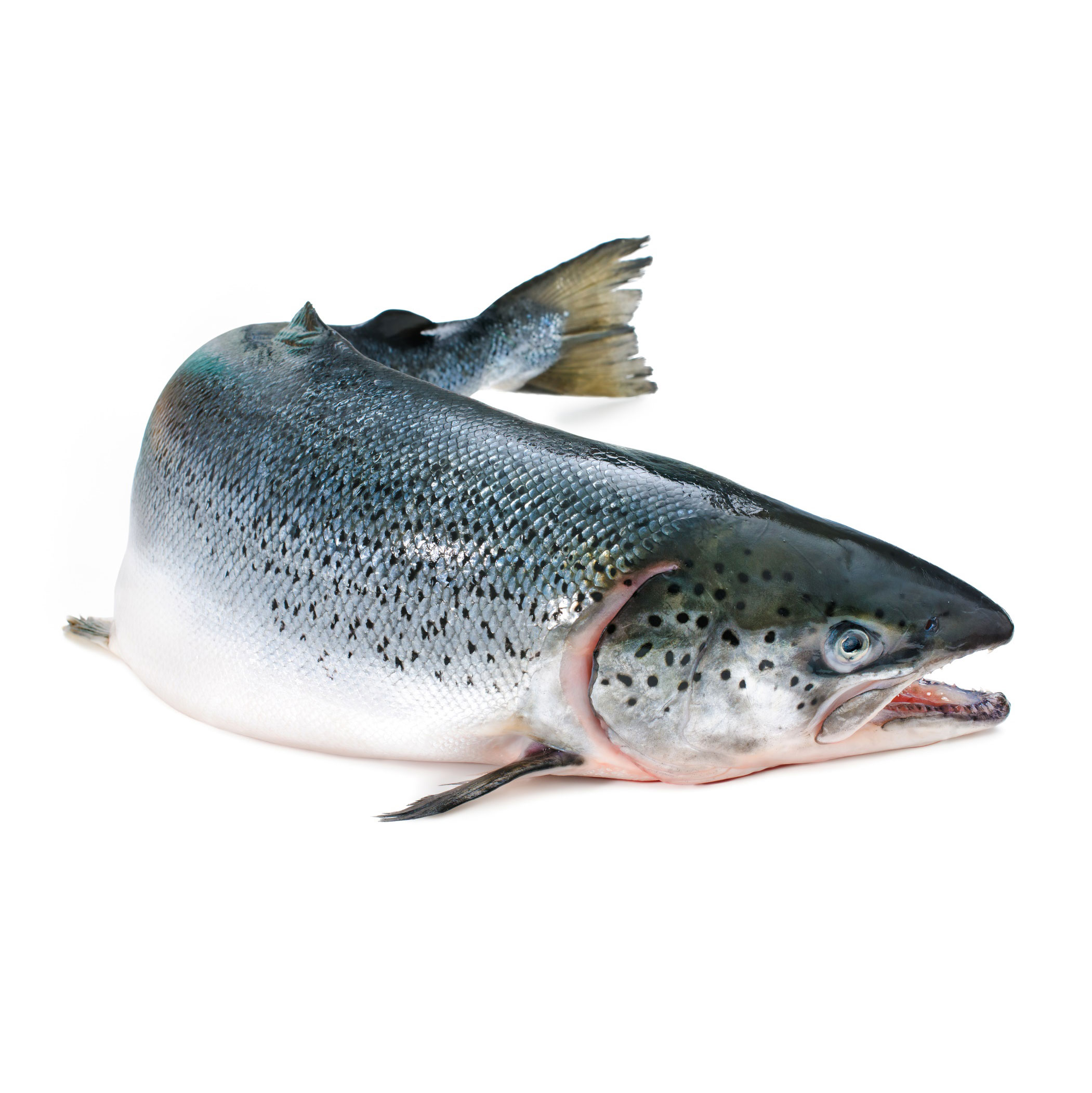 Wild Salmon on The Water Cycle 2